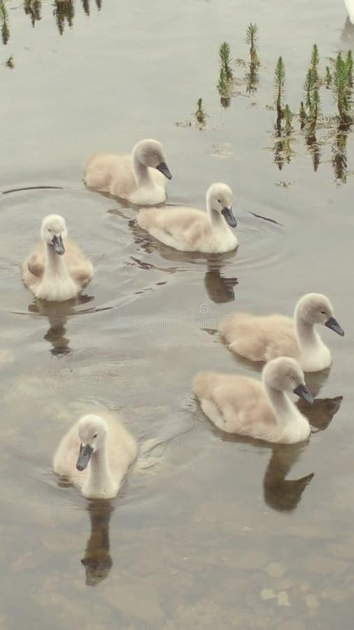 Красивые лебеди младенца signets стоковые фотографии rf