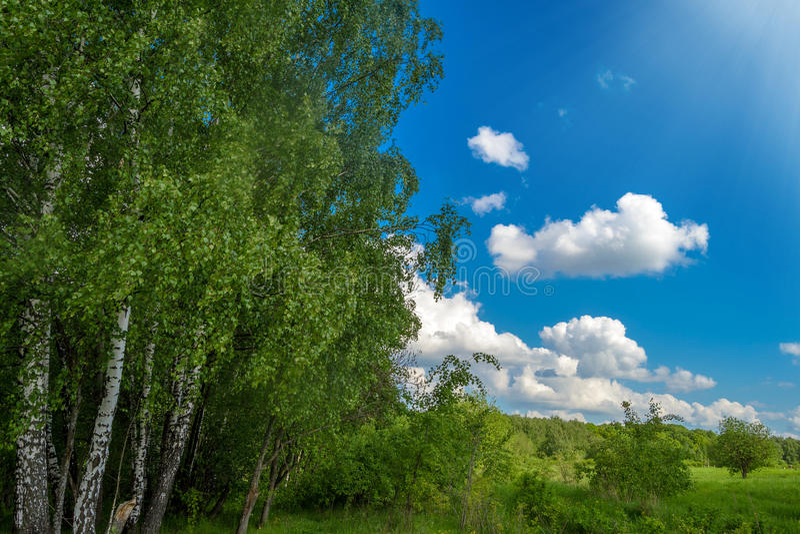 Красивые деревья березы на солнечном крае леса стоковая фотография rf