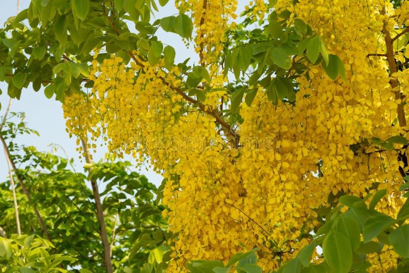 Красивые желтые зацветая цветки, желтый тайский цветок, листья дерева  стоковая фотография