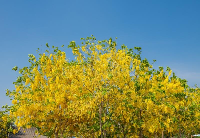 Красивые желтые зацветая цветки, желтый тайский цветок, листья дерева  стоковое изображение
