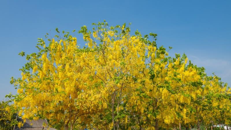 Красивые желтые зацветая цветки, желтый тайский цветок, листья дерева  стоковые изображения rf