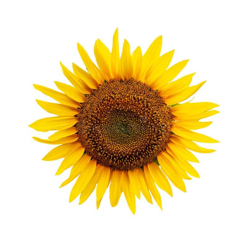 Красивые желтые зацветая цветки Цветене солнцецвета cutted вне r стоковое фото