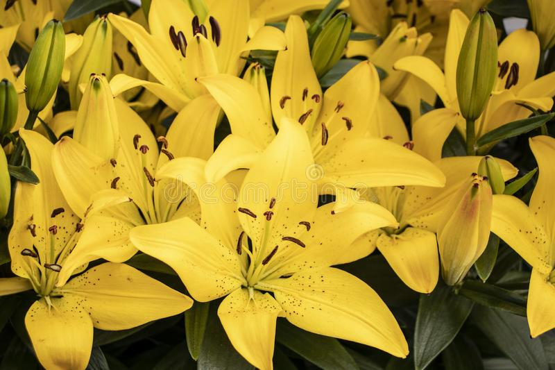 Красивые желтые лилии в парке стоковые изображения