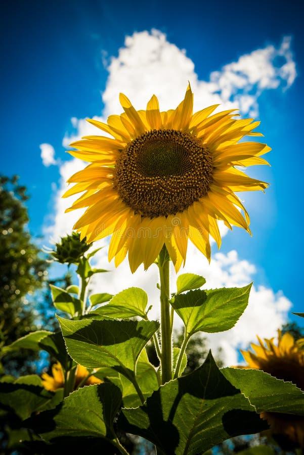 Красивые желтые солнцецветы в летнем дне стоковое изображение rf