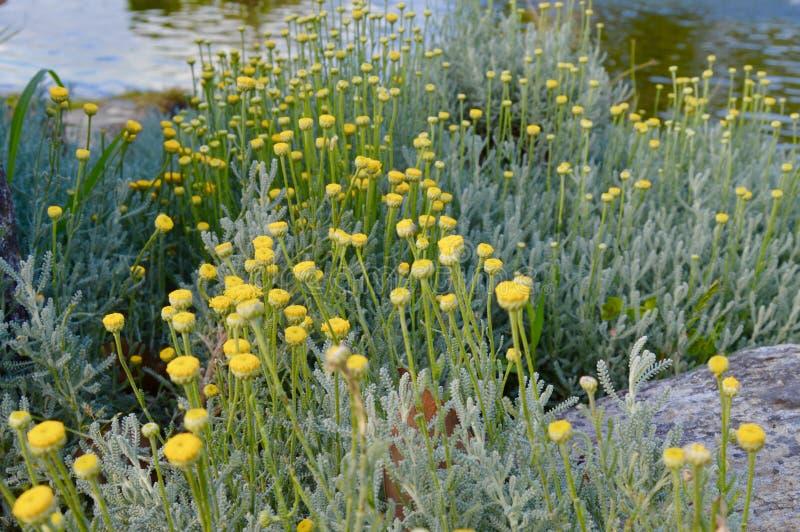 Красивые желтые цветки в пруде стоковая фотография