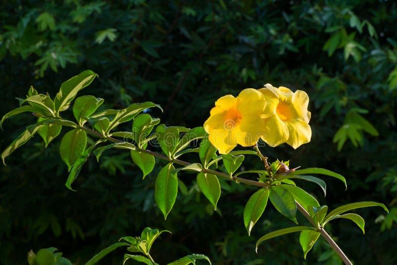 Красивые желтые цветки рождены естественно в диком стоковые фото