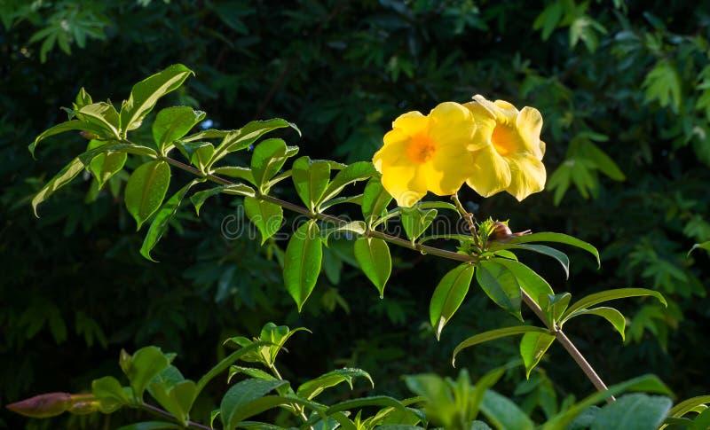Красивые желтые цветки рождены естественно в диком стоковое фото
