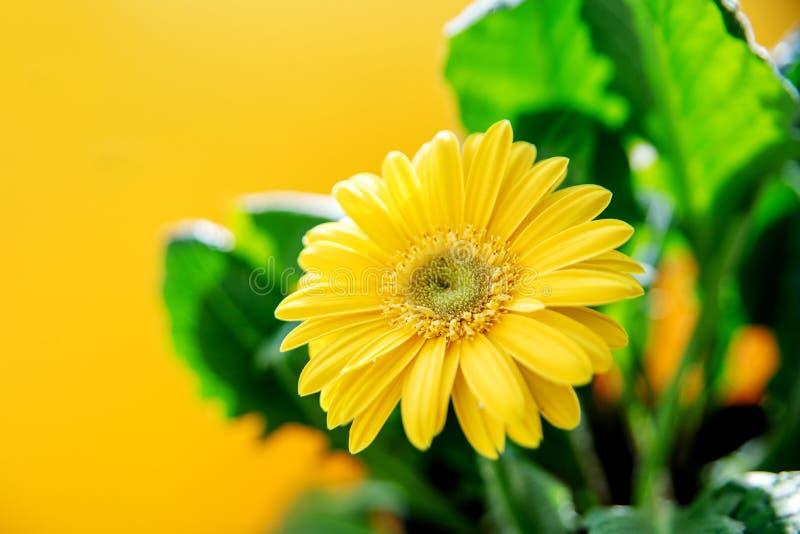 Красивые желтые цветки gerbera маргаритки на желтой предпосылке стоковое фото