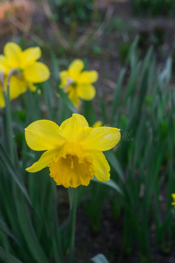 Красивые желтые daffodils в предыдущей весне в цветнике в саде стоковая фотография