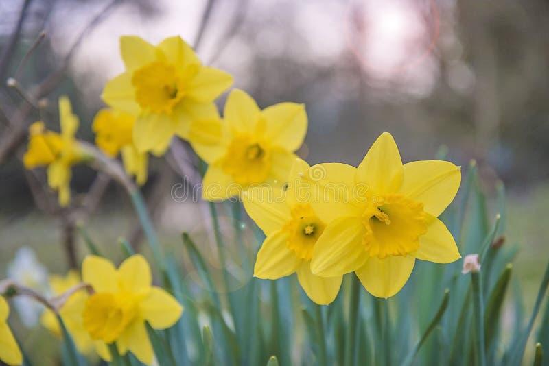 Красивые желтые daffodils зацветая весной сад стоковые изображения rf