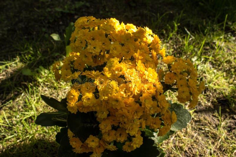 Красивые желтые kalanchoe и трава стоковое изображение rf