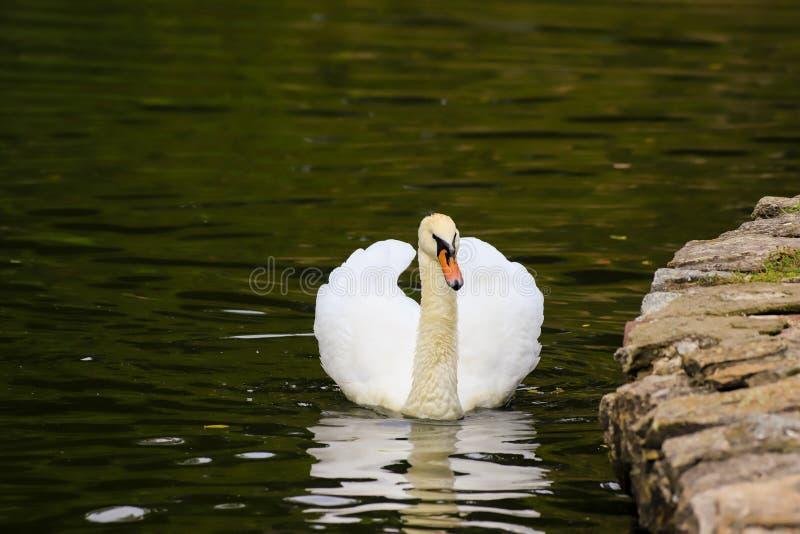 Красивые заплывы лебедя в воде в парке Uman, Украине Озеро в парке весной, лето, осень стоковые фотографии rf