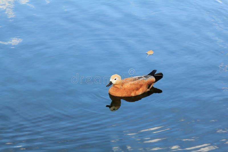 Красивые заплывы утки в открытом море стоковая фотография rf