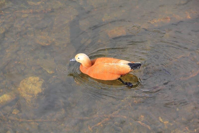 Красивые заплывы утки на реке весны стоковые изображения rf