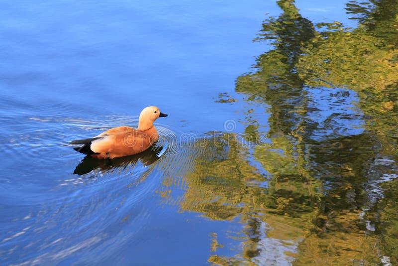 Красивые заплывы утки на multicolor красивой воде реки осени стоковое изображение