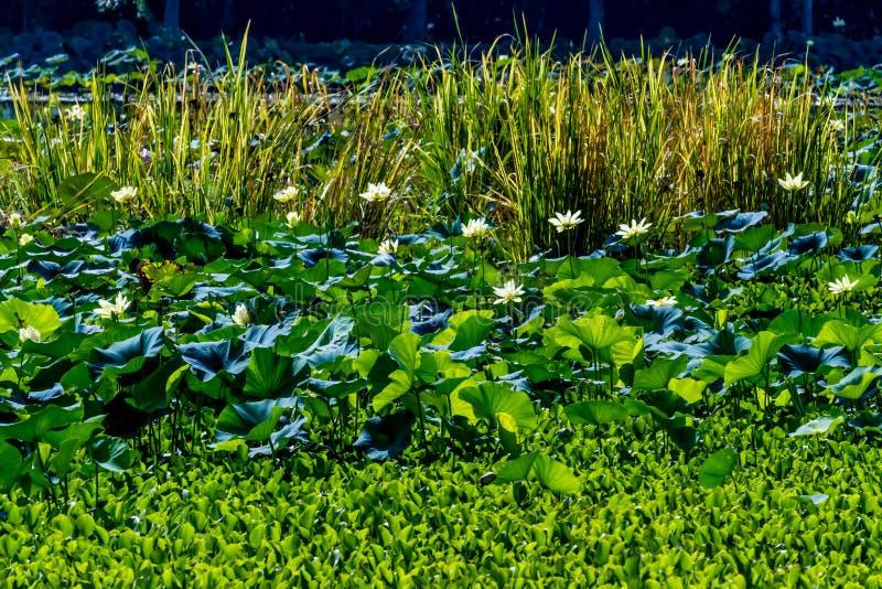 Красивые зацветая желтые цветки пусковой площадки лилии воды лотоса и другие водоросли стоковое фото