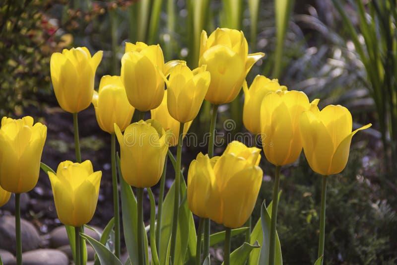 Красивые зацветая тюльпаны в предпосылке сада весной стоковое изображение rf