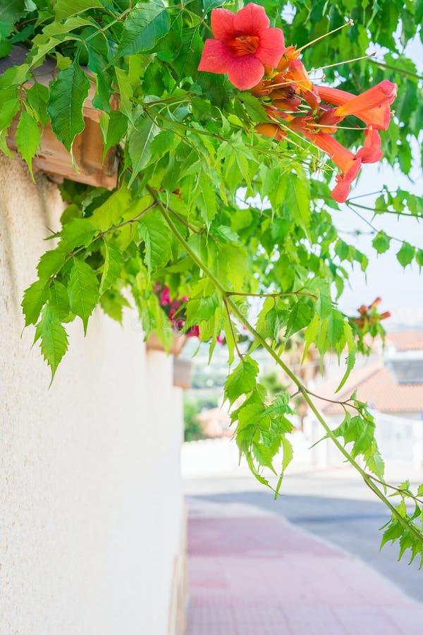 Красивые зацветая цветя лозы с красным зеленым цветом цветков выходят смертная казнь через повешение от белой стены загородки дом стоковые фотографии rf