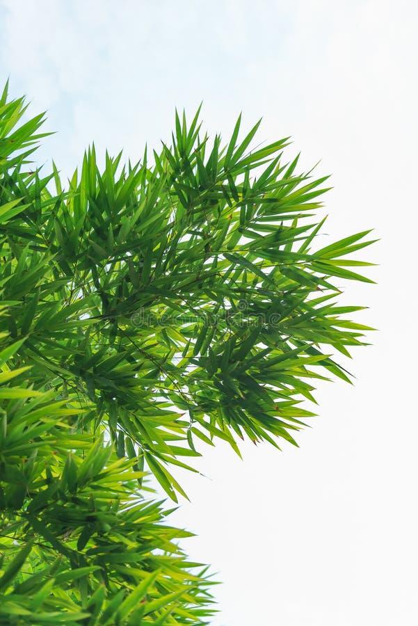 Красивые зеленые бамбуковые лист стоковое фото rf