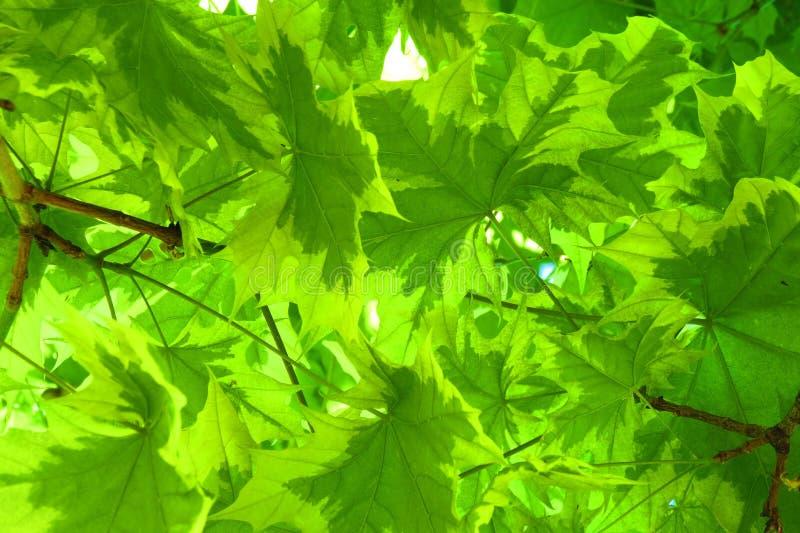Красивые зеленые листья дерева клена, Литва стоковая фотография rf