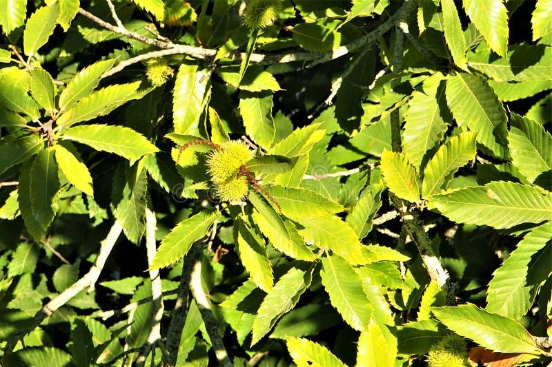 Красивые зеленые листья каштана стоковое изображение