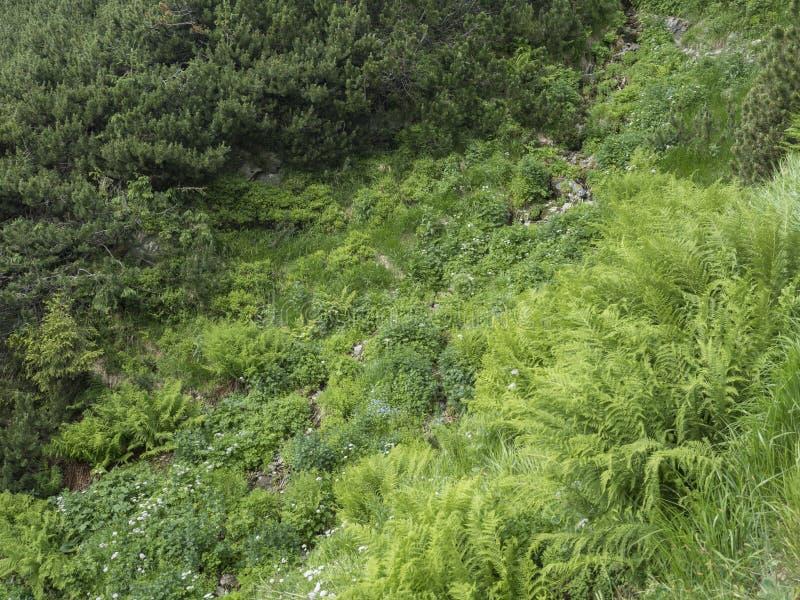 Красивые зеленые листья папоротника и зацветая цветки незабудки, предпосылка папоротника зеленой листвы естественная флористическ стоковые фотографии rf