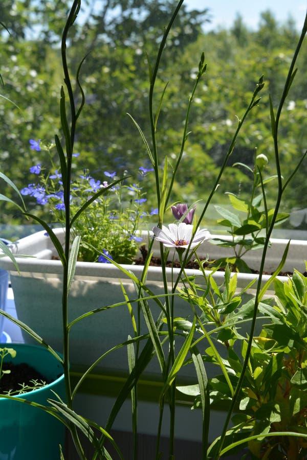 Красивые зеленые растения в цветочных горшках сделали бы вашим балконом малый городской сад стоковые изображения
