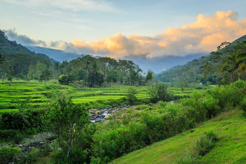 Красивые зеленые террасы риса на заходе солнца стоковые фотографии rf