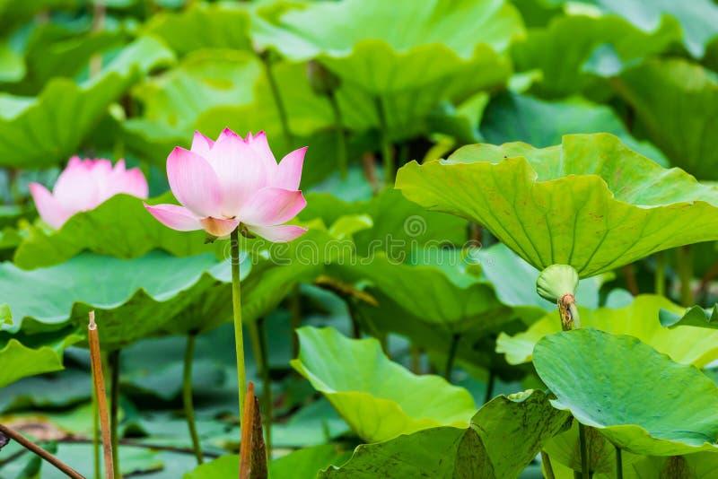 Красивые лилия и лист воды стоковая фотография rf