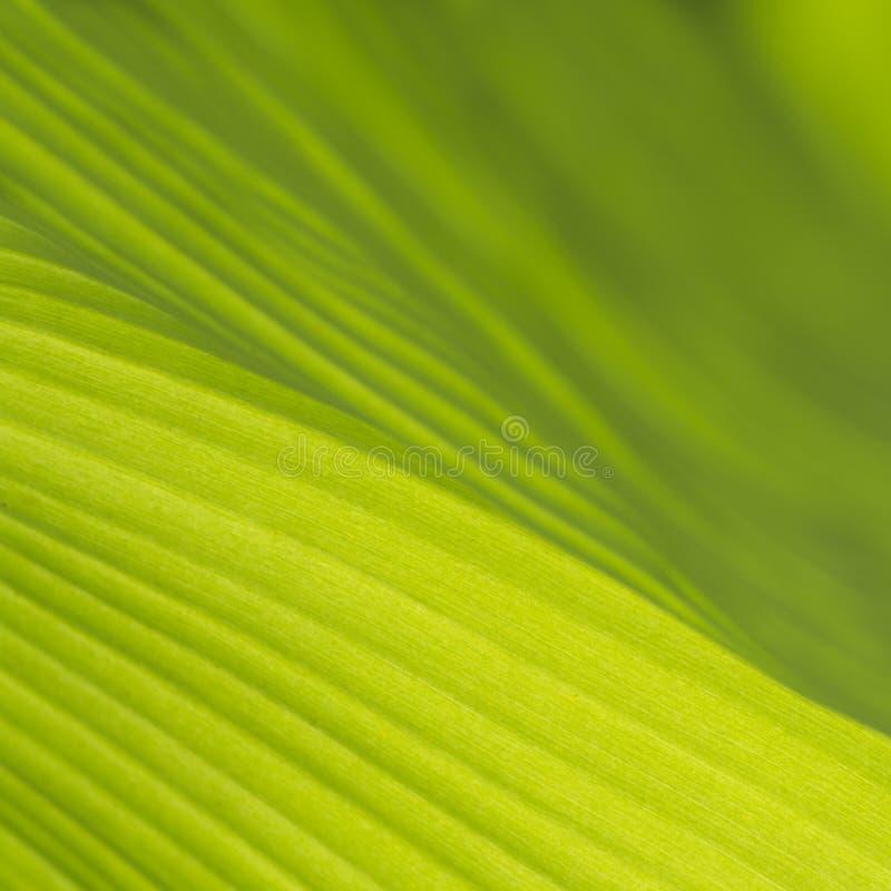 Красивые и красочные листья банана как предпосылка стоковая фотография rf