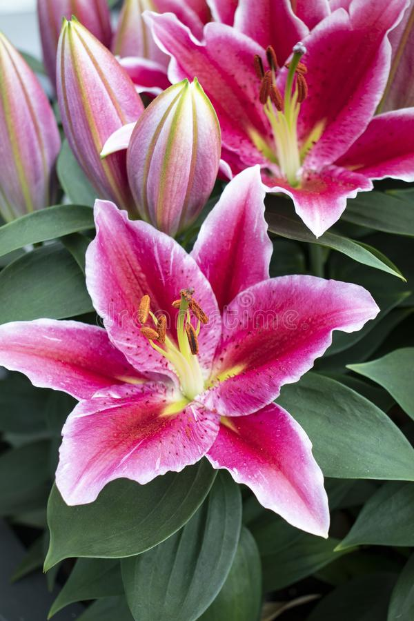 Красивые и красочные лилии в парке стоковое фото rf