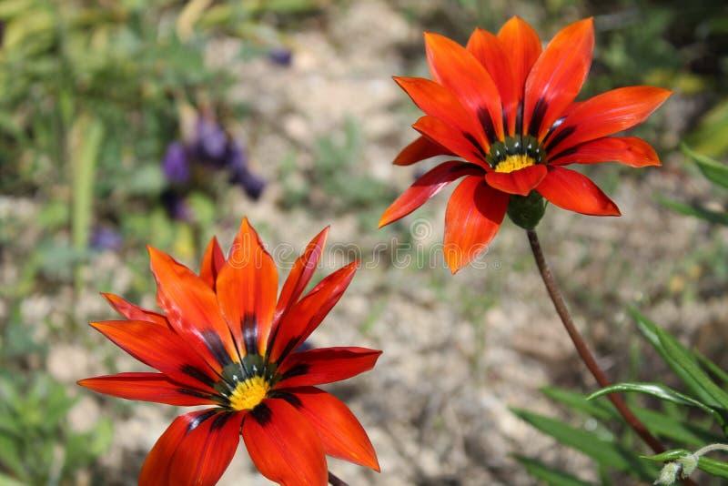 Красивые и красочные цветки Gazania стоковое фото rf