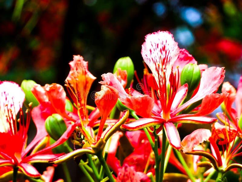 Красивые красного цветка излучающие улучшают стоковое изображение rf