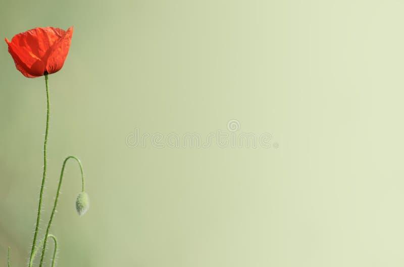 Красивые красные маки и зеленая трава с ровной предпосылкой стоковые фотографии rf
