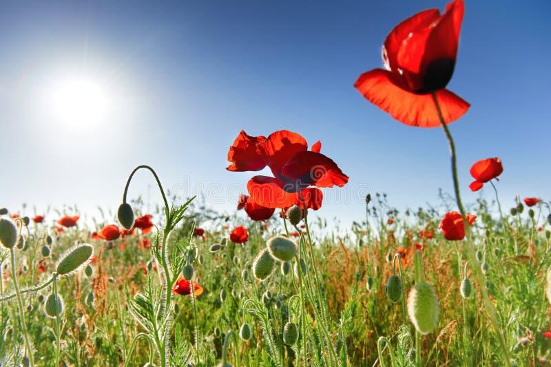 Красивые красные маки на зеленом поле стоковое изображение rf