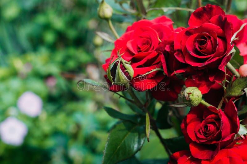 Красивые красные розы в саде на зеленой предпосылке стоковая фотография rf