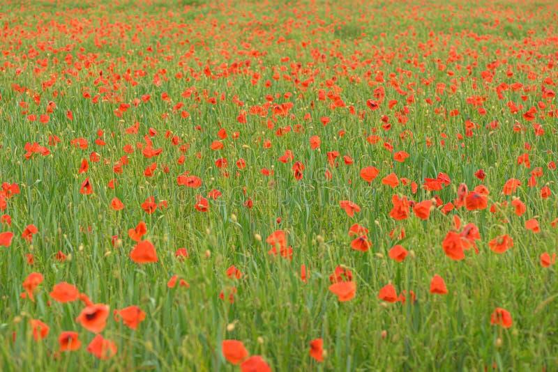 Красивые красные сияющие маки после грозы Падения дождя на цветках стоковая фотография