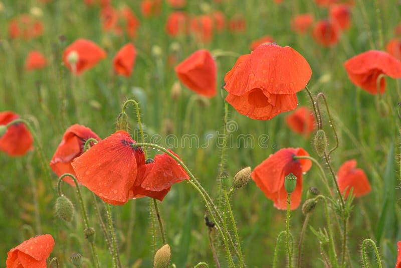 Красивые красные сияющие маки после грозы Падения дождя на цветках стоковое изображение rf