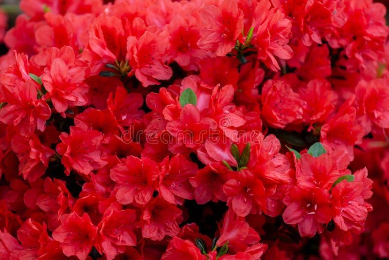 Красивые красные цветки азалии стоковое фото