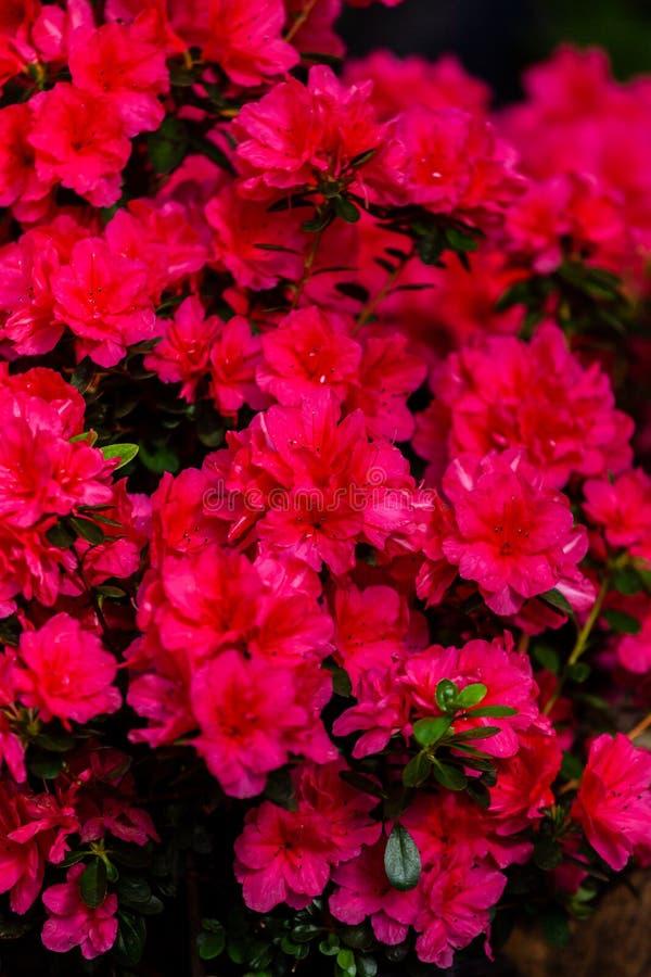 Красивые красные цветки азалии стоковые изображения rf