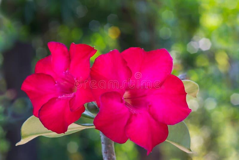 Красивые красные цветки азалии с предпосылкой bokeh стоковое изображение rf