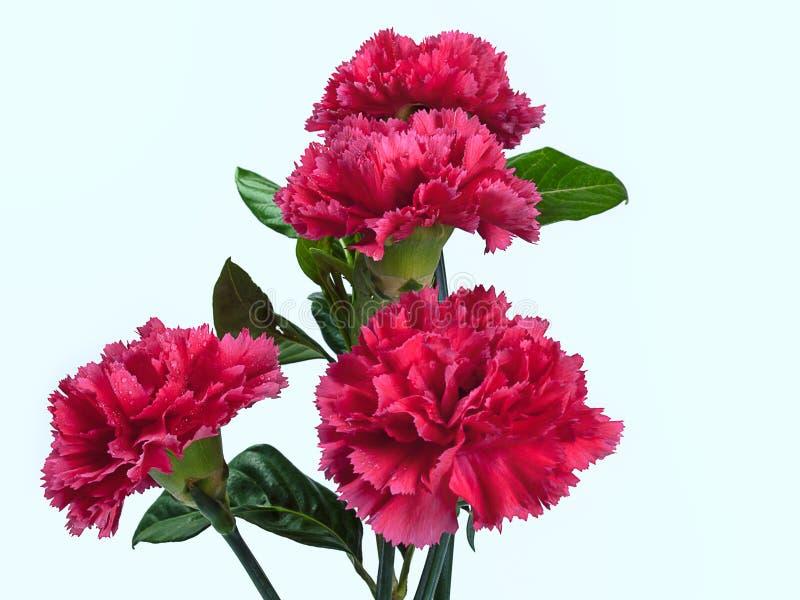 Красивые красные цветки гвоздики стоковая фотография