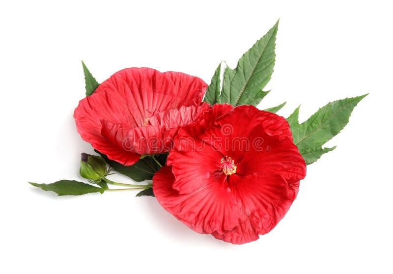 Красивые красные цветки гибискуса стоковые фотографии rf