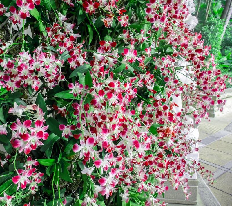 Красивые красные цветки орхидеи с листьями стоковые фотографии rf