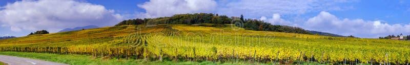 Красивые красочные виноградники, осень в Эльзасе стоковые фото