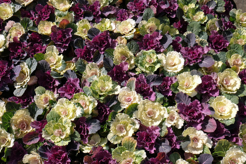 Красивые красочные цветки листовой капусты стоковая фотография rf