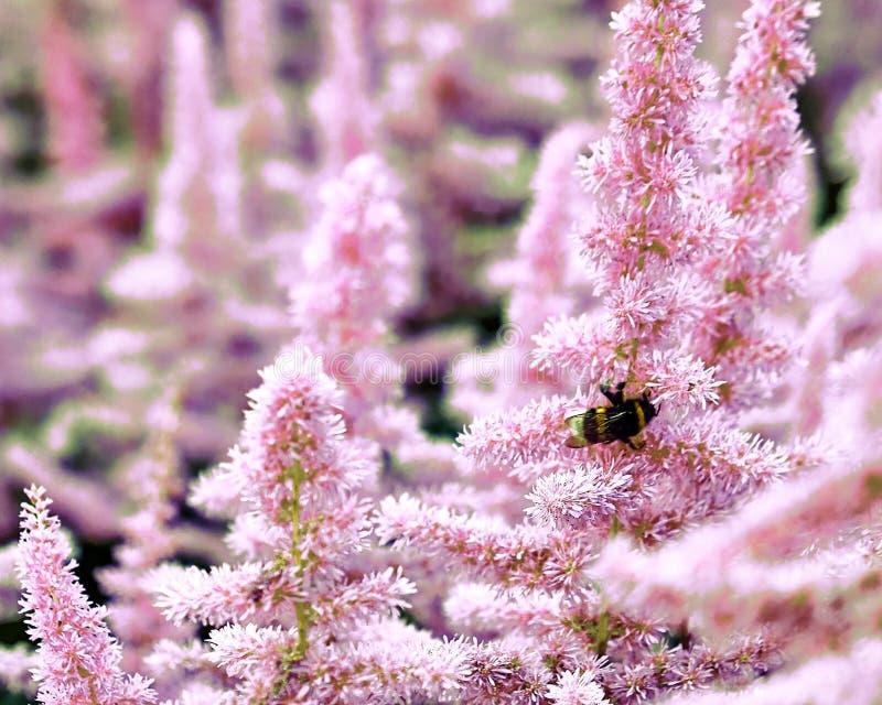 Красивые кусты Astilbe цветков с пушистые розовые panicles и пчела путать на цветке, славной предпосылке стоковое фото rf