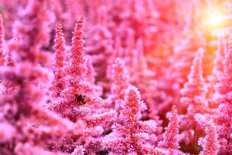 Красивые кусты Astilbe цветков с пушистые розовые panicles и пчела путать на цветке, славной предпосылке стоковая фотография rf