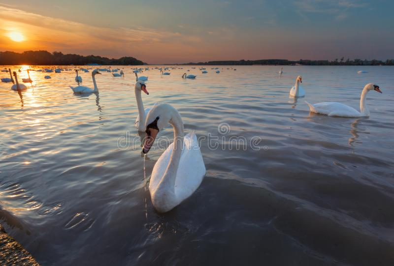 Красивые лебеди на реке к заходящему солнцу стоковые фото