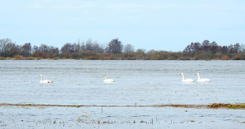 Красивые лебеди плавая на воду в поле потока, Литве стоковые изображения